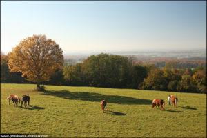 Chevaux Comtois sur le Mont Adam à Mondon (Doubs)